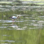Störche, aber auch Reiher, Schwäne, verschiedene Enten, Amphibien und Insekten fühlen sich hier im Weingartener Moor wohl.
