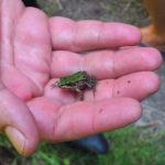 Viele kleine Fröschchen hüpften der Gruppe im Laufe der zweistündigen Moorführung über den Weg.