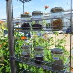 Um sicherstellen zu können, dass die Samen nicht von hochgezüchteten Hybridsorten stammen, werden die Pflanzen aus eigenem Saatgut gezogen.